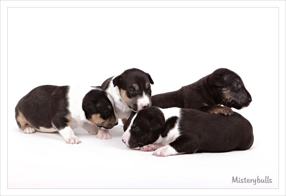 Miniatuur bull terrier pups