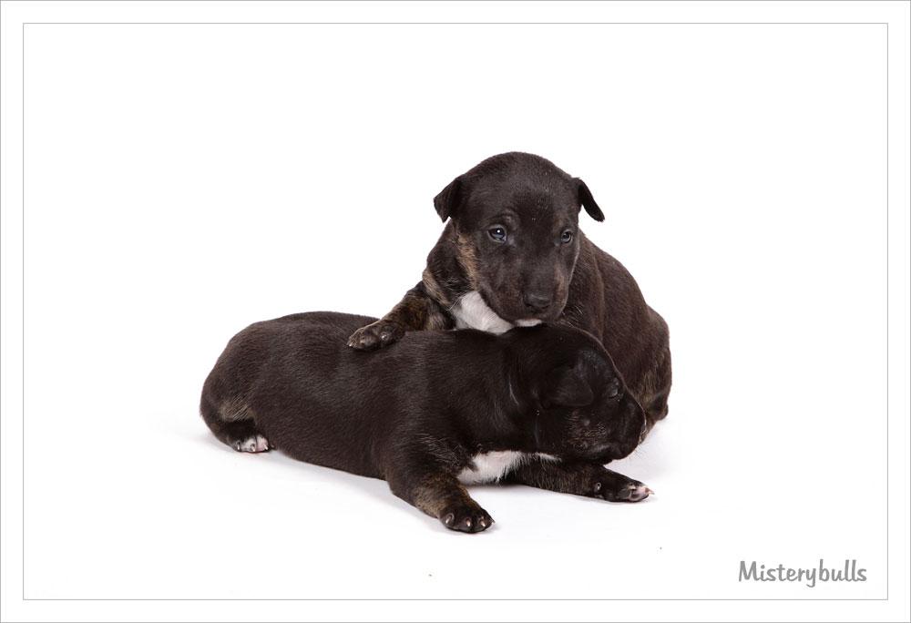 Miniatuur bull terrier puppies