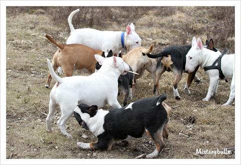 Minibull pup_3