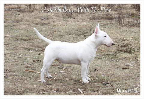 Minibull pup_2