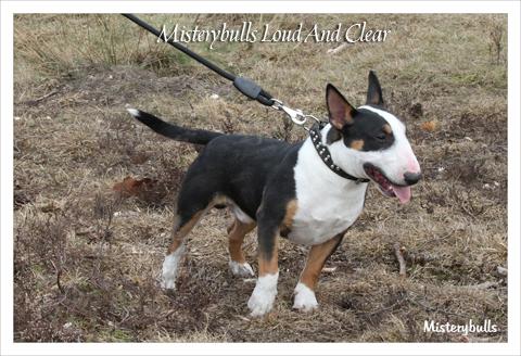 Minibull pup_1