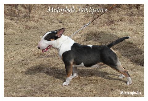 Minibull pup_5
