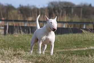 Miniatuur bull terrier Lizzy