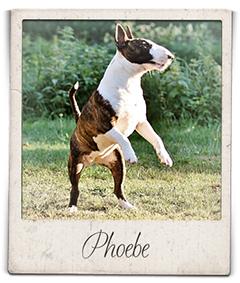 Miniatuur bull terrier teef Phoebe