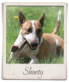 Miniatuur bull terrier teef Shanty