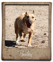 miniature bull terrier Bailey