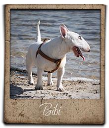 miniature bull terrier bibi