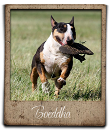 Miniature bull terrier Boeddha