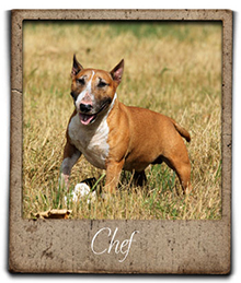 miniature bull terrier chef