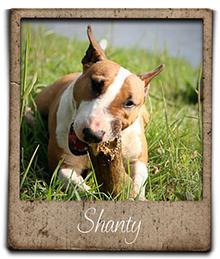 Miniature bull terrier shanty