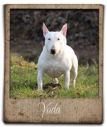 miniature bull terrier yada