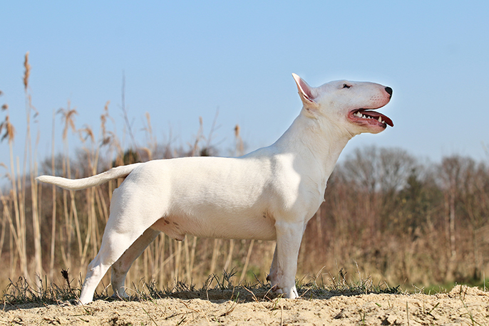 Miniature bull terrier Luther