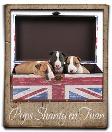 miniature bull terrier pups