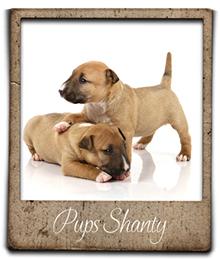 mini bull pups foto's