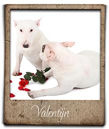 misterybulls valentijn